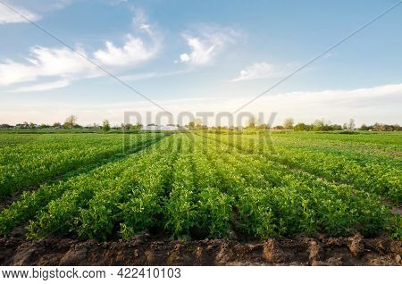 Potato Plantations Grow In The Field On A Spring Sunny Day. Organic Vegetables. Agricultural Crops.