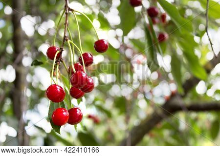 Cherry Tree. Ripe Sweet Cherries Hanging From The Branch Of A Cherry Tree