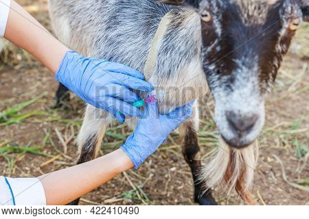 Veterinarian Woman With Syringe Holding And Injecting Goat On Ranch Background. Young Goat With Vet