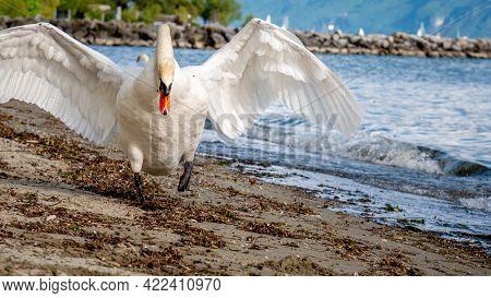 One Mute Swan Spreading Wings On The Beach. Cygnus Olor Runs In Attack Position. Lausanne, Switzerla