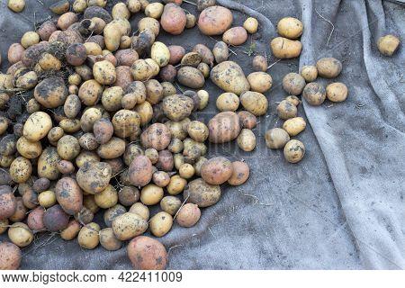 Potatoes, Varietal Potatoes For Planting, Harvest. Heap Of Potatoes Background.