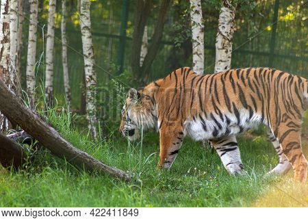 The Amur Tiger Is Hiding From The Sun In The Shade Of The Zoo's Aviary.