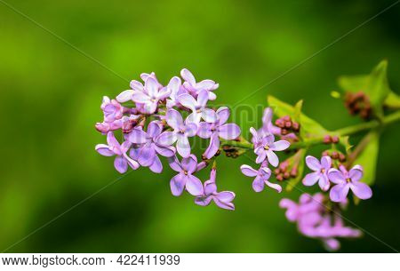 The Magical Lilac Colored Flowers Of A Lilac Bush.