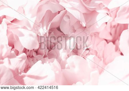 Abstract Gentle Pink Background Of Peony Petals. Beautiful Blurred Background Of Pink Peony Petals.