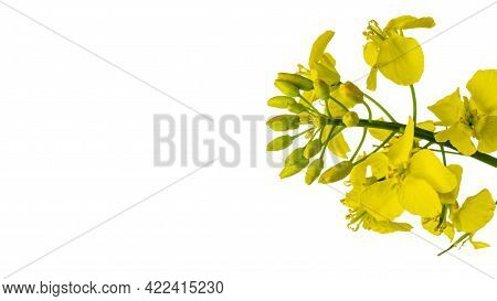 Rapes Flower. Rapeseed Plant, Colza Rapeseed For Green Energy. Yellow Rape Flower For Healthy Food O