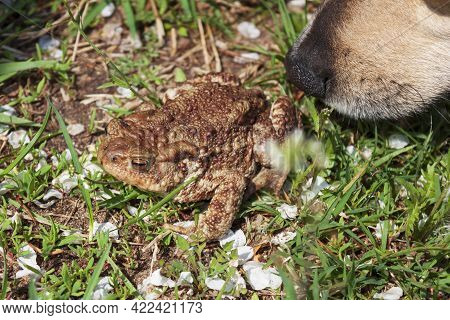 Curious Dog Is Inspecting A Common Toad. Dog's Black Nose And Greyish-brown Warty Frog