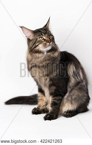 Portrait Of Mackerel Tabby American Forest Cat. Smart Longhair Cat Breed Maine Shag Cat Sitting On W