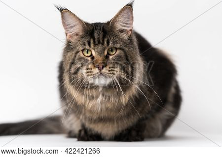 Front View Portrait Of Mackerel Tabby Maine Coon Cat. Obedient Longhair Cat Breed Maine Shag Cat Lyi