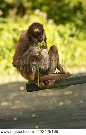 Brown Spider Monkey,  Variegated Spider Monkey (ateles Hybridus).