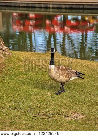 An Intense Goose Stare Down In A Spring Park