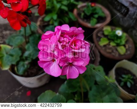 Pelargonium Is A Genus Of Flowering Plants Which Includes About 280 Species Of Perennials, Succulent