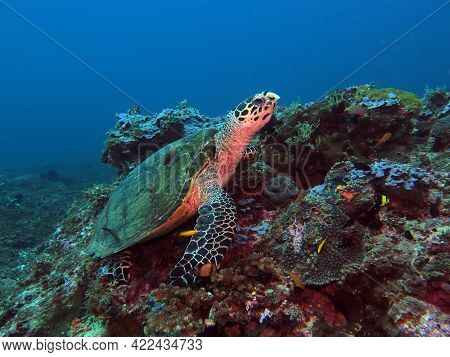 A Hawksbill Turtle Resting On Corals Boracay Philippines