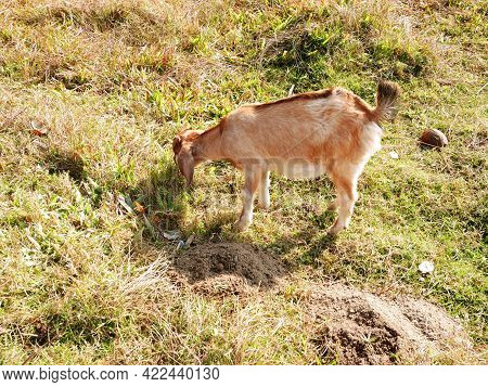 Nepalese Goat Find And Eating Grass On Floor Of Grassland Meadow At Outdoor Rural Countryside In Pok