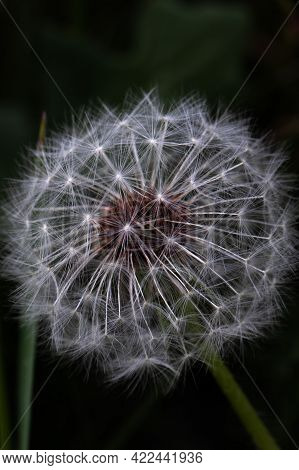 Plants In Macro. Close-up Macro Of A Dandelion. White Dandelions.