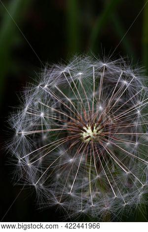 White Dandelion Seeds Macro. Nature, Flowers Macro. Close-up Phot.