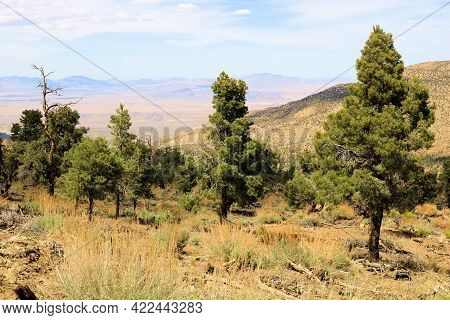 Pinyon Pine Trees Besides Sage Plants On An Alpine Plateau Overlooking The Mojave Desert Taken At A