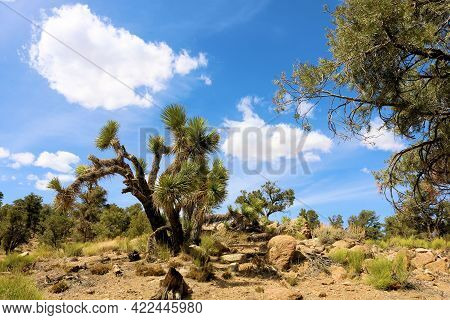 Joshua Trees Surrounded By Pinyon Pine Trees On A High Desert Plateau Covered With Sage Plants Taken