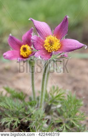 Dream Grass Is A Beautiful Spring Flower. Pulsatilla Blooms In Early Spring In The Forest And Mounta