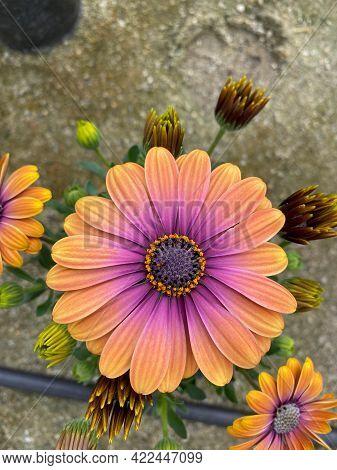 An Orange Magenta Cape Marguerite In Bloom Close-up View