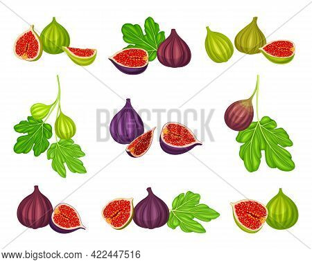 Common Fig Or Ficus Plant With Syconium Fruit With Numerous Seeds Vector Set