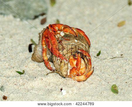 Couple Of Hermit Crab Copulation