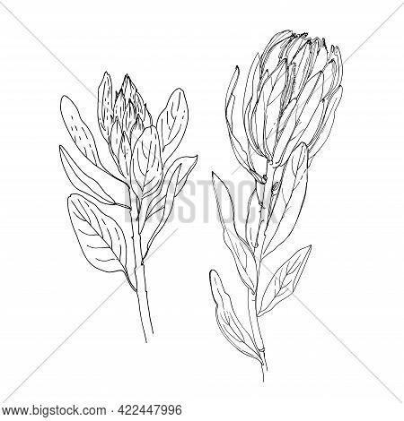 Protea Vector Sketch Of Flowers By Line On A White Background. Decor