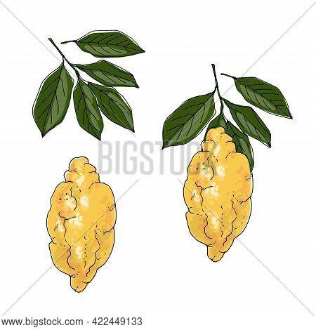 Citron Vector Drawing Of Food. Citrus. Exotic Food Drawings