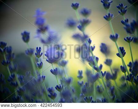 Lavender Flowers Field. Soft focus bokeh background