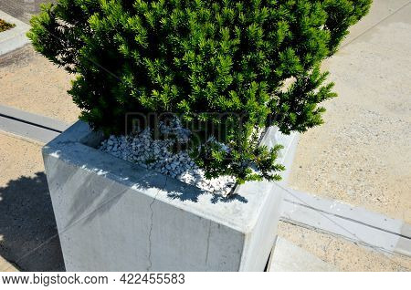 Taxus Bacata Yew Red Ball Shaped Green In Concrete Flower Pot Adornment Garden Pebbles Pebbles White