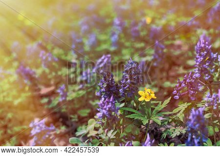 Morning Light Illuminates A Forest Clearing. Summer, Grass, Aconite Flowers And Yellow Flowers Close