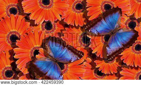 Bright Summer Background. Blue Tropical Morpho Butterflies On Bright Orange Gerbera Flowers. Colorfu