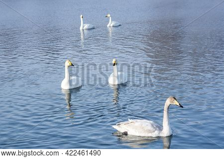 White Swans Swimming In The Nonfreezing Winter Lake In Altay, Siberia, Russia