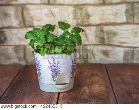 Mint, Grown At Home In A Flower Decorative Pot