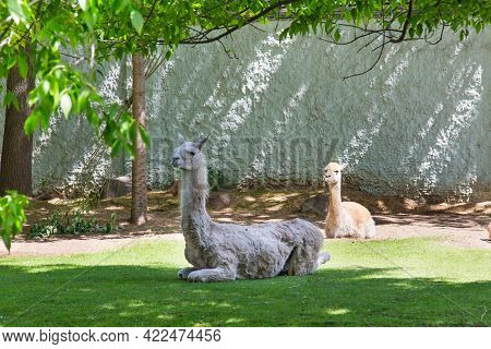 A Pair Of Gray And Light Brown Guanacos (lat. Lama Guanicoe) Lie On The Green Grass Under The Crowns