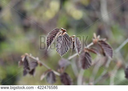 Purple Hazel New Leaves - Latin Name - Corylus Maxima Purpurea