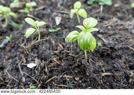 Basil. Ocimum Basilicum. Fragrant Herbs, Herb Garden. Italian Cuisine. Bushes Basil.