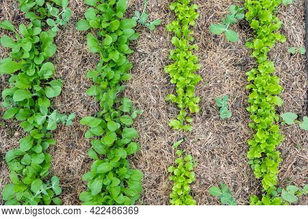 Arugula On The Bed. The First Vegetables In The Garden In Early Spring. Eco Cultivation Of Radishes