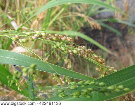 Proso Millet With Panicles In Garden, Panicum Miliaceum