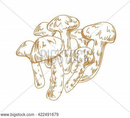 Outlined Sketch Of Japanese Matsutake Mushrooms. Engraving Of Asian Edible Fungi In Vintage Style. C