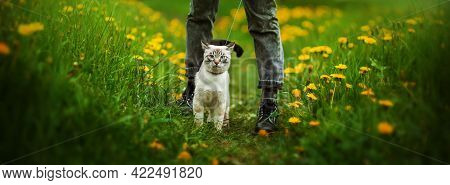 A Cute Thai Kitten Walks On A Leash With Its Owner In Black Clothes On A Green Meadow Among Yellow D