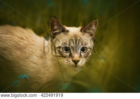Portrait Of A Cute Thai Tabby Kitten Hiding Among Green Grass And Blue Forget-me-nots On A Summer Da