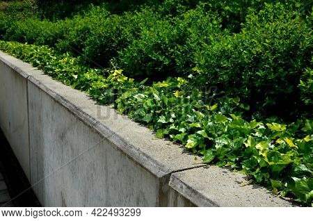 Ivy Grow On The Edge Of The  Retaining Wall Of Light-colored Cast Concrete.