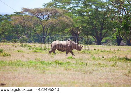 rhino in african savannah, Namibia