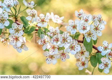 Flowers Of Pear Tree Close Up, Natural Background. Fruit Tree Blossom Close-up. Shallow Depth Of Fie