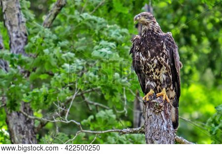 Young bald eagle perched on a tree stump in a forest