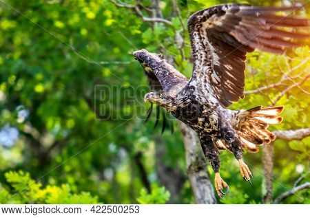 Young bald eagle in flight in a forest