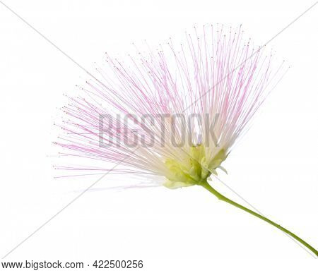 Flower of Persian Silk Tree with very long stamens of pale pink color isolated on white background. Selective focus. Shallow DOF.