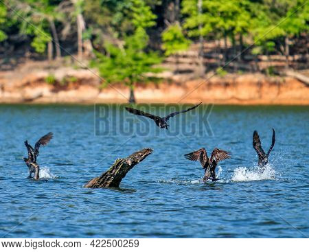 Cormorants splashing as they take off on a beautiful lake