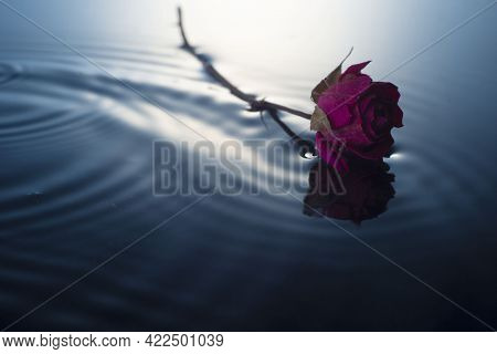 Lonely Red Dried Rose On Water. Minimalistic Background Copy Space Flowers Spring Still Life.