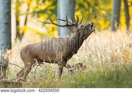 Majestic Red Deer Roaring In Forest During Rutting Season.